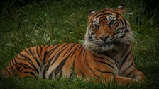 South Lakes Safari Zoo says Padang the Sumatran tiger died a few weeks ago.
