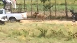 The lion was filmed darting towards a car after a shot was fired