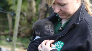 Baby gorilla Afia takes in the sights and sounds of the outside world for the first time