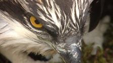 Ospreys are returning