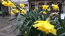 Today marks the town's first Daffodil Day, in celebration of poet William Wordsworth.