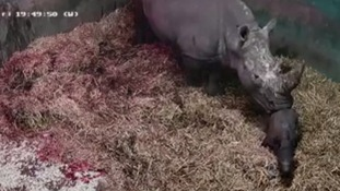 Amazing moment white rhino gives birth captured on CCTV