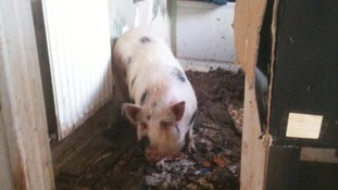The pig lived in the council house for a year