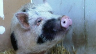 Derby County Council attempt to trace a tenant who caused thousands of pounds of damage to a house after keeping a pig inside the property