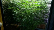 Police in Essex have arrested a man after cannabis plants were found near Braintree.