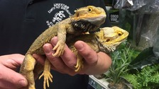 The RSPCA is appealing for information after two bearded dragons were found dumped in a carrier bag at a bus stop in Hertfordshire.