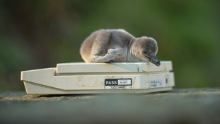 Chester Zoo welcomes baby penguins