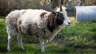 Meet Peanut the 'Ewe-nicorn' - a sheep with one horn