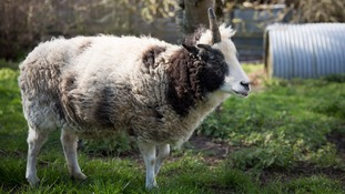 Peanut the 'ewe-nicorn'