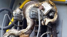 Two fried snakes in an electrical box
