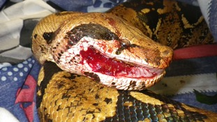 Appeal after boa constrictor is left abandoned and battered