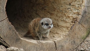 New meerkat arrival at Northumberland animal park