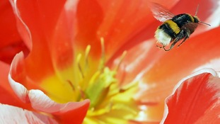 Anything but bumbling: Bee creates its own 'flight plans'
