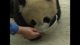 Pandas: China's conservation efforts continuing