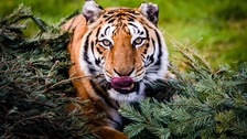 The number of wild tigers has risen for the first time in the history of tiger conservation according to the WWF