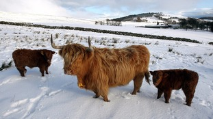 highland cow and its young calves at feeding time