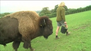 Somerset farmer destroys bison herd because of stress caused by government tests
