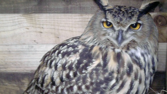 European Eagle Owl suspected of being stolen