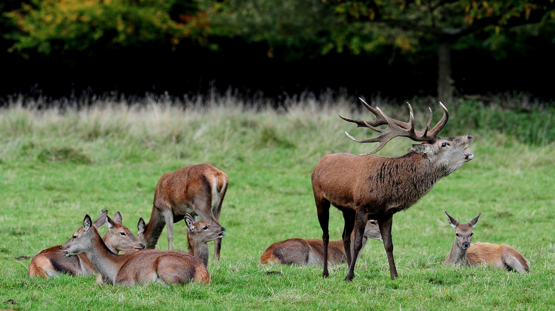 Deer at Lyme Park have...