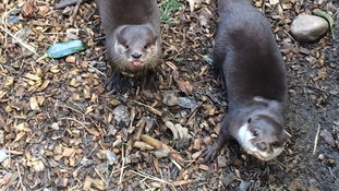 Unlucky otters find love in Cornwall