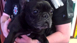 French Bulldog rescued after being punched, kicked and strangled