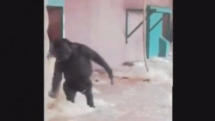 Dancing Gorilla caught on camera at Twycross Zoo
