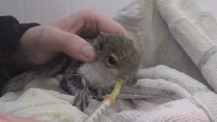 A baby squirrel is among the first orphans to be cared for in the new wildlife creche at Secret World