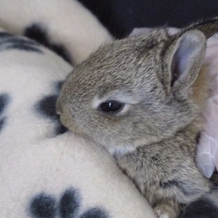 An orphaned rabbit being cared for in the new wildlife creche