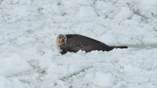 A live seal spotted by HSI campaigners