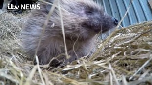 England's national treasure the hedgehog is under threat