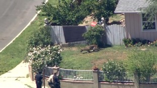 Escaped mountain lion roams school grounds