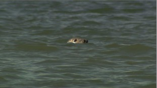 A seal at Worm's Head