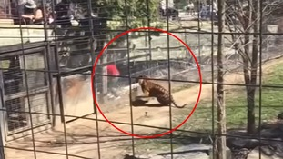 Woman climbs into zoo tiger enclosure to pick up hat