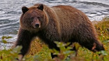 A bear seen at the Chilkoot river near Haines