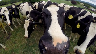 Cows graze in a field before being milked.