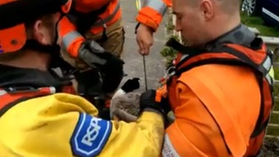 Video shows goose with arrow stuck in it rescued