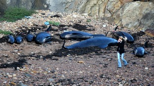A woman walking past dead pilot whales after they beached near Pittenweem off the coast of Fife.