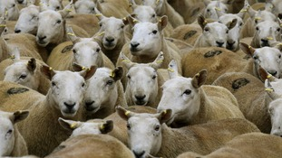Thieves steal hundreds of sheep worth around £60,000