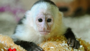 Petition for monkey care standards to be handed to Downing Street