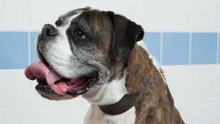 Ray, the eight year-old boxer dog