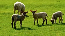 Lambs in Northamptonshire