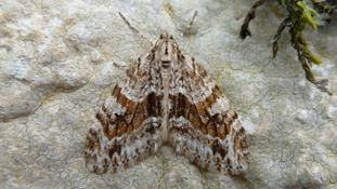 Extremely rare moth discovered in Wales