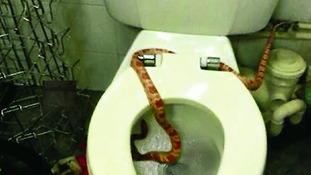 Shop worker is caught short when a snake slithers out of toilet