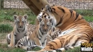Tiger cubs video