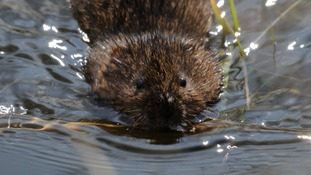 A water vole swimming