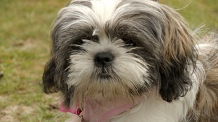 Hundreds of Shih Tzus gather in Windermere