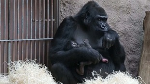 Baby gorilla catches zoo visitors by surprise after unexpected arrival