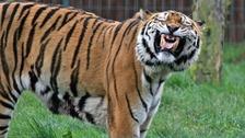 Zambar at Blackpool Zoo