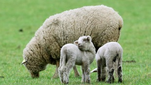 Police are warning people to keep dogs on leads near sheep
