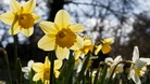 Daffodils in bloom at Longthorpe in Peterborough